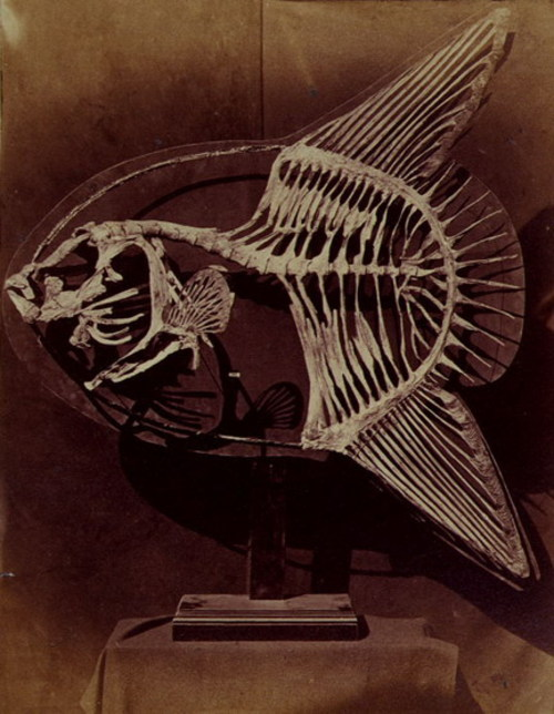 Skeleton of the sun fish, 1857